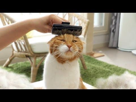 고양이 털과의 전쟁! 털이 가장 많이 나오는 고양이는 누구?