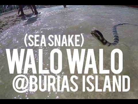 GoPro: Sea Snake (Walo Walo) at Burias Island 2016