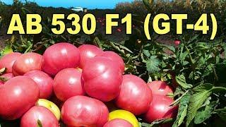 Томат розовый AB 530 F1 (GT-4). Высокий потенциал урожайности!