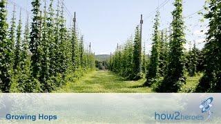 Growing & Harvesting Hops