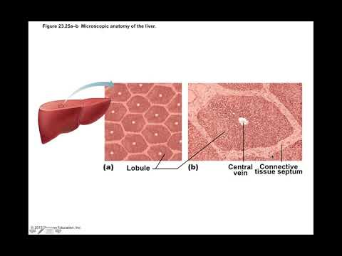 Chapter 23 Digestive System Part5