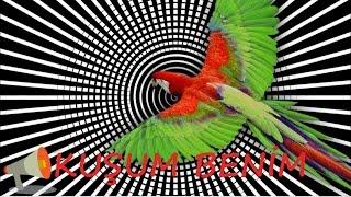 Papağan Ve Muhabbet Kuşu KuŞum Benİm Konuşma Eğitimi Sesi Hazır Ses Kaydı 1 Saat