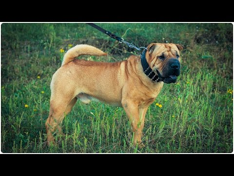 Cute Shar Pei looks astonishing in Extra Wide Leather Dog Collar