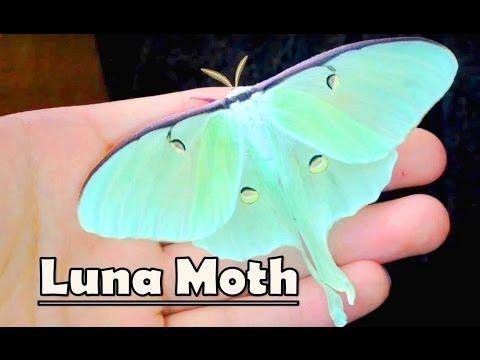 Handling a LUNA MOTH! - (Actias luna)