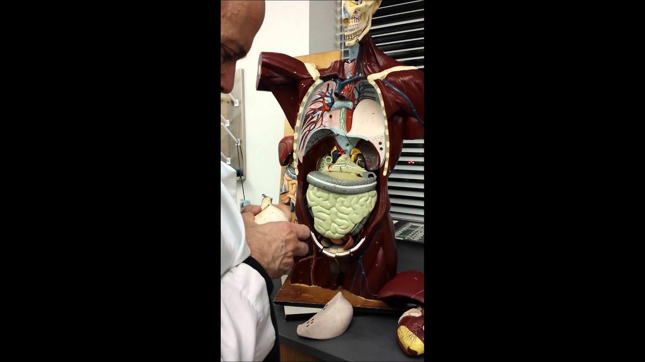 Ap Ii Body Organs Mannequin Youtube