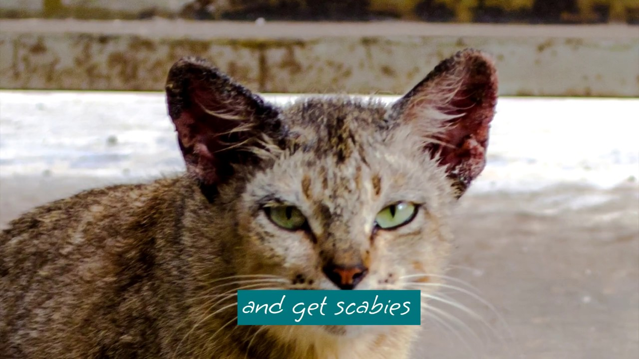 Cat Scabies Treatment With Ointment Youtube
