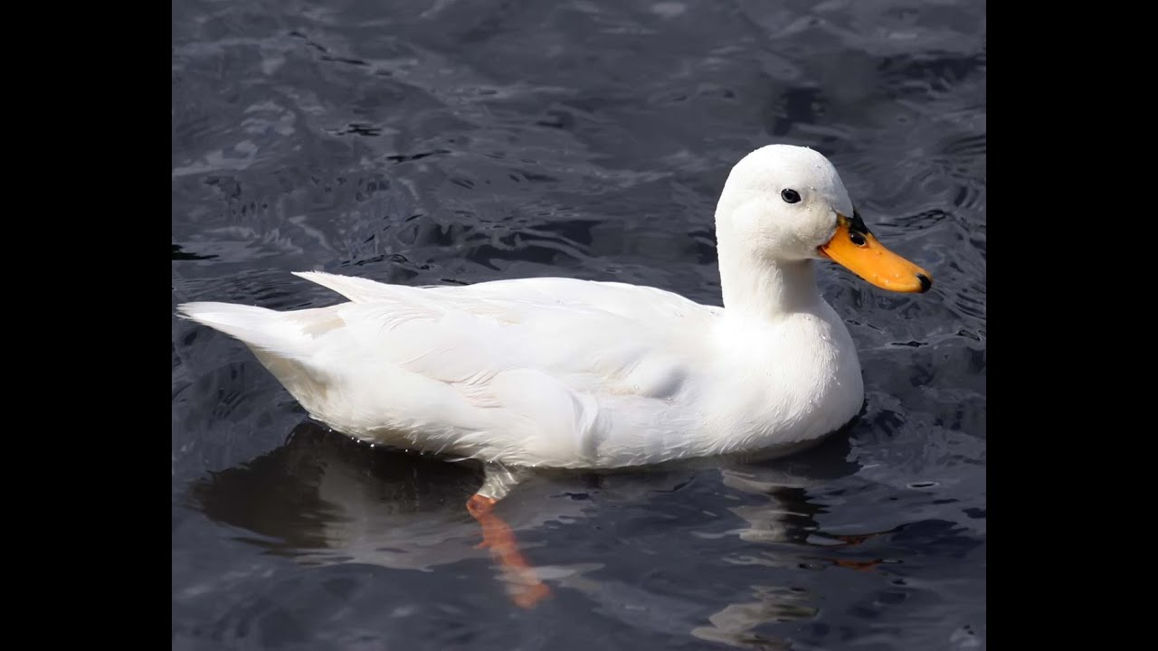 Duck Swimming in The Water - YouTube
