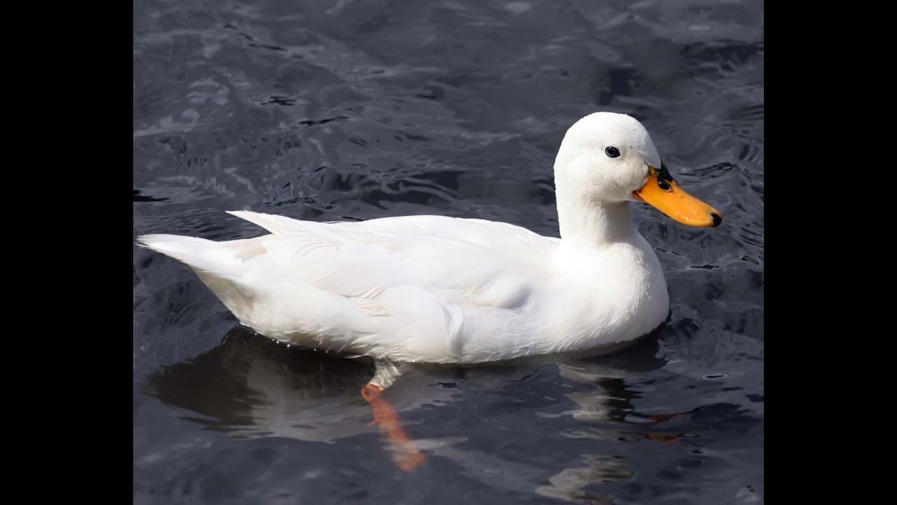 ducks swimming on the - photo #27