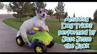 Amazing Dog Tricks performed by Jesse!