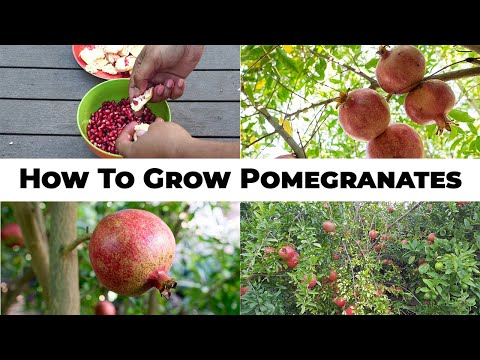 5 Year Pomegranates How To Grow Wonderful Pomegranates & Pomegranate Tree Care