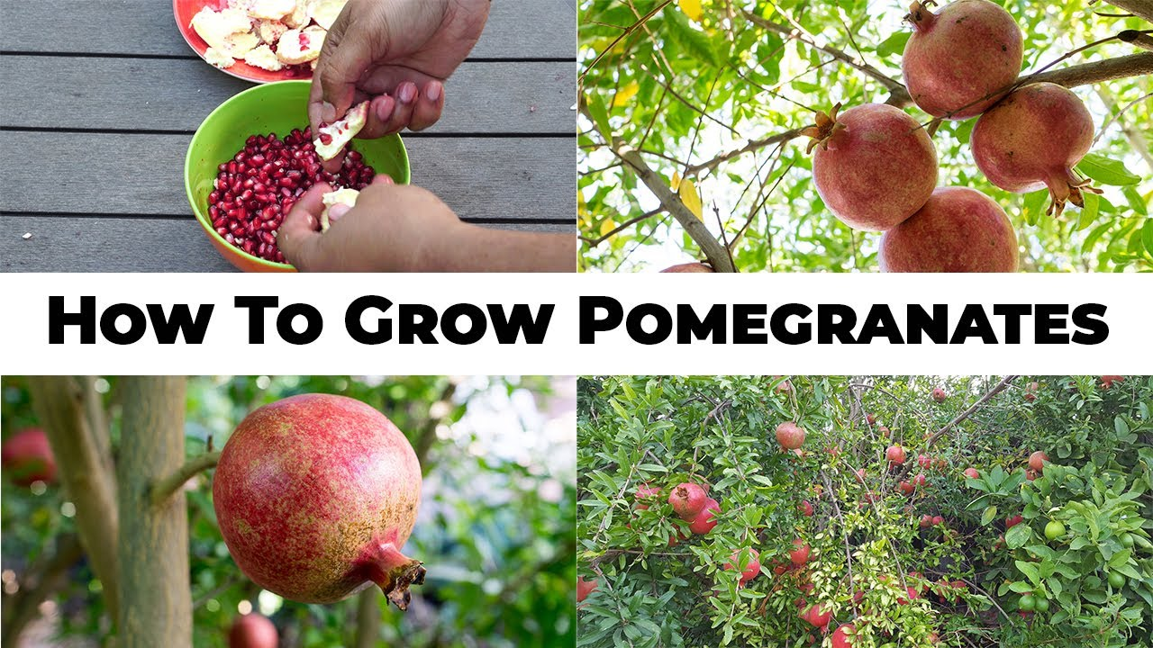 Download 5 Year Pomegranates - How To Grow Wonderful Pomegranates & Pomegranate Tree Care