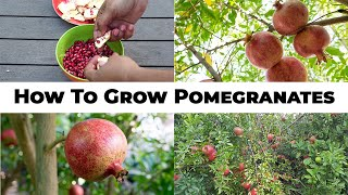 The 5 Year Pomegranate Journey - How To Grow Pomegranates