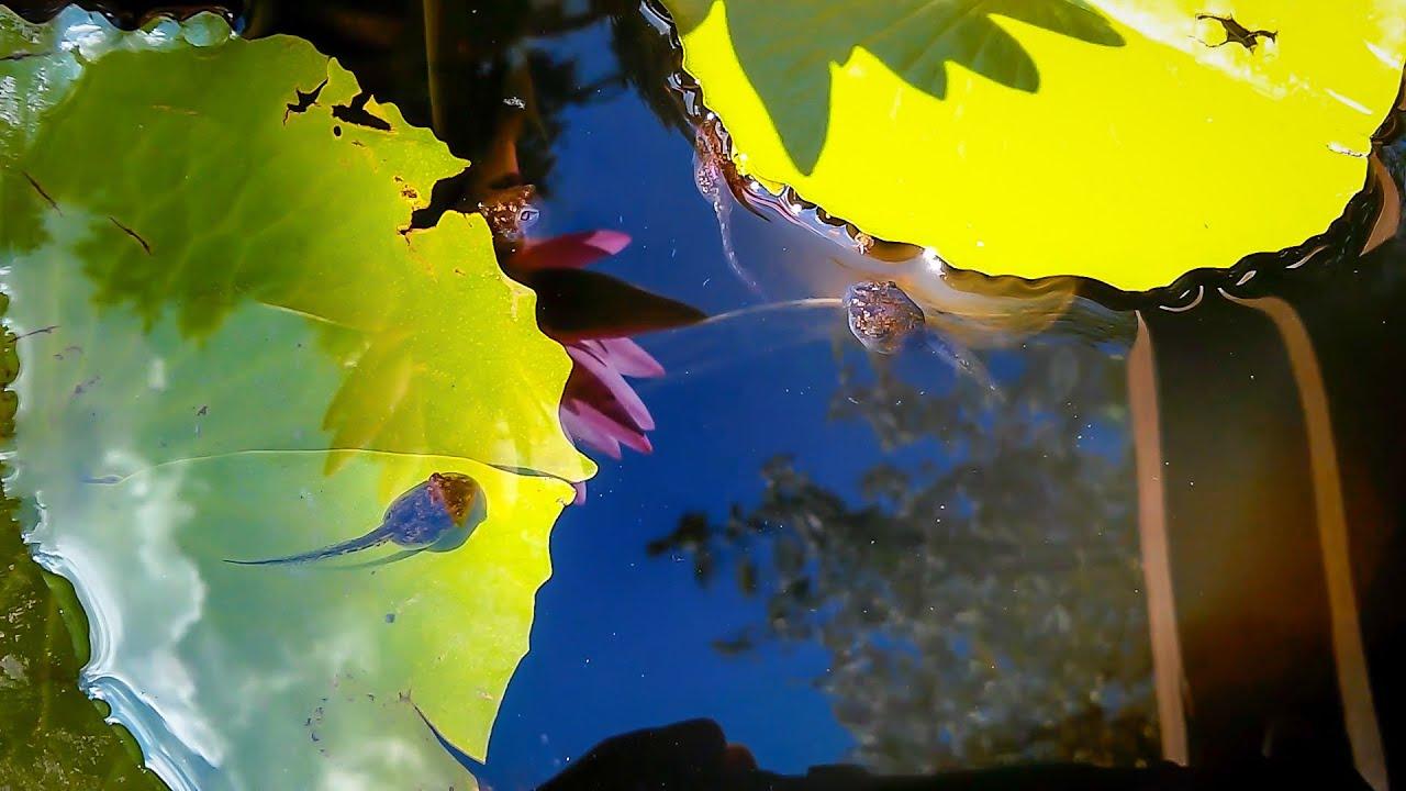 Cope's gray tree frog tadpoles
