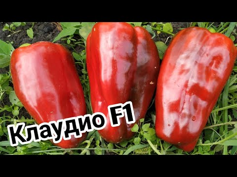 Перец КЛАУДИО F1🌶️от фирмы Nunhems.Крупный и урожайный гибрид. | шатковская | урожайный | крупный | клаудио | семена | нунемс | грядки | гибрид | фирма | узкие