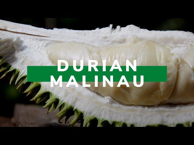 Nikmatnya Durian Lokal Malinau - Vlog!