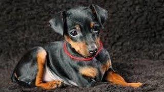 ドーベルマンを小型化した犬種のように見えますが、ドーベルマンより古...