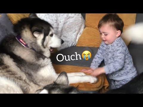 Husky Smacks My Baby So Baby Smacks Back And Refuses To Say Sorry But In A Cheeky Way!