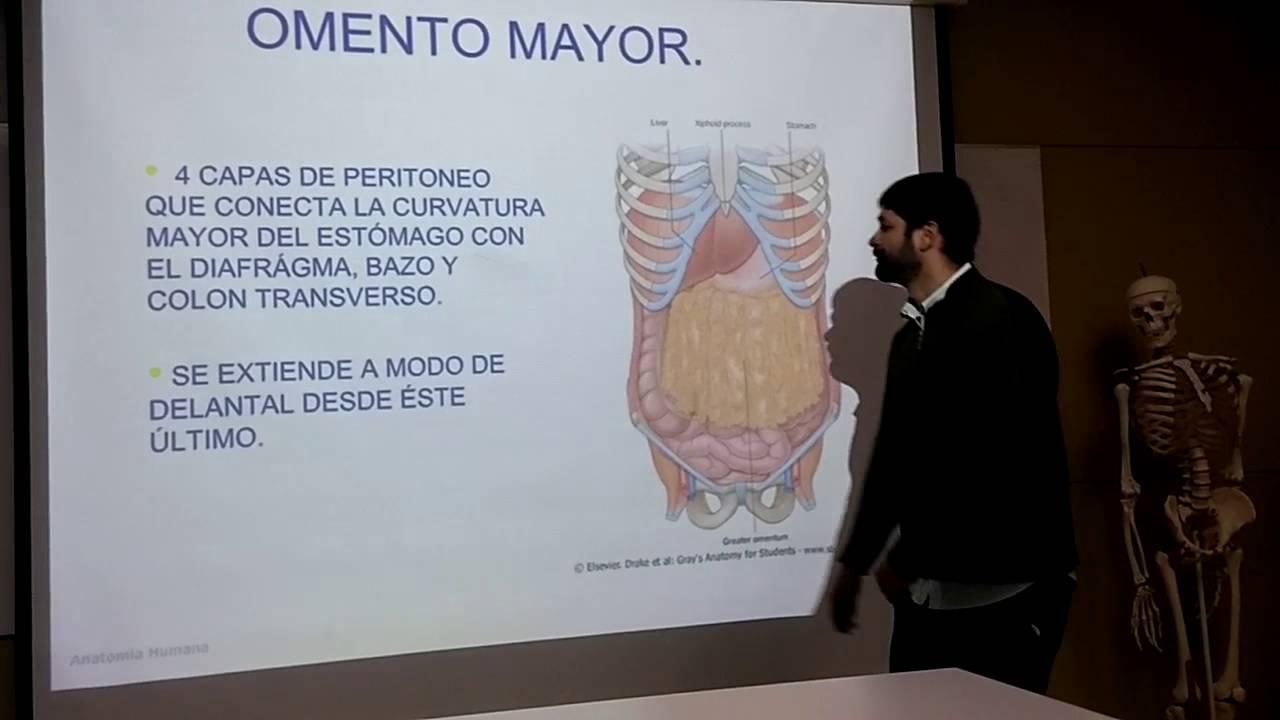 Anatomia general - Sistema digestivo: peritoneo, omentos y meso ...