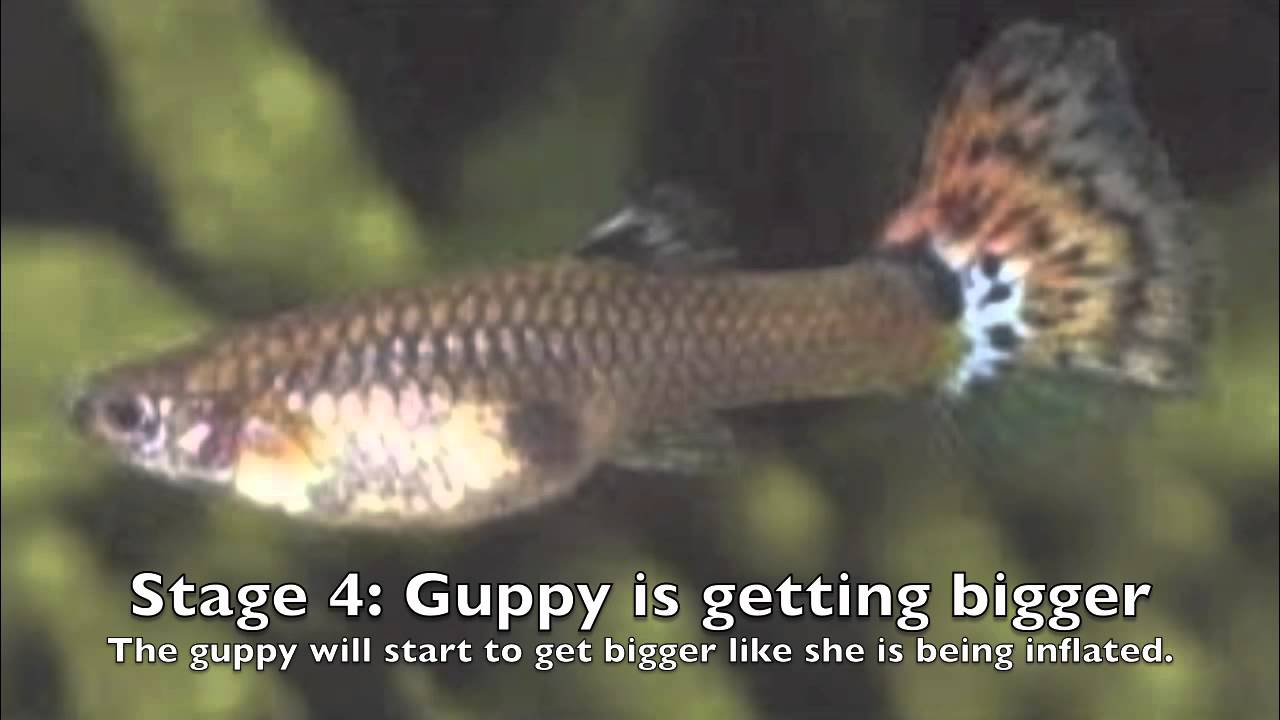 how long are guppies pregnant operation18 truckers