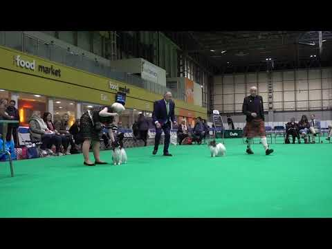 C0079 Challenge for Best of Breed Crufts 2019 Papillon