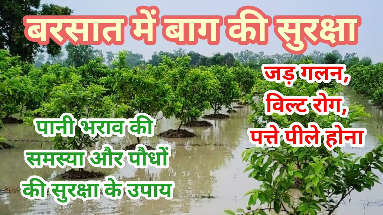 251. बरसात में पानी से पौधों का बचाव।। Plants safety from heavy rain.