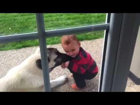 Kangal Köpeğiyle Çocuk OYNUYOR