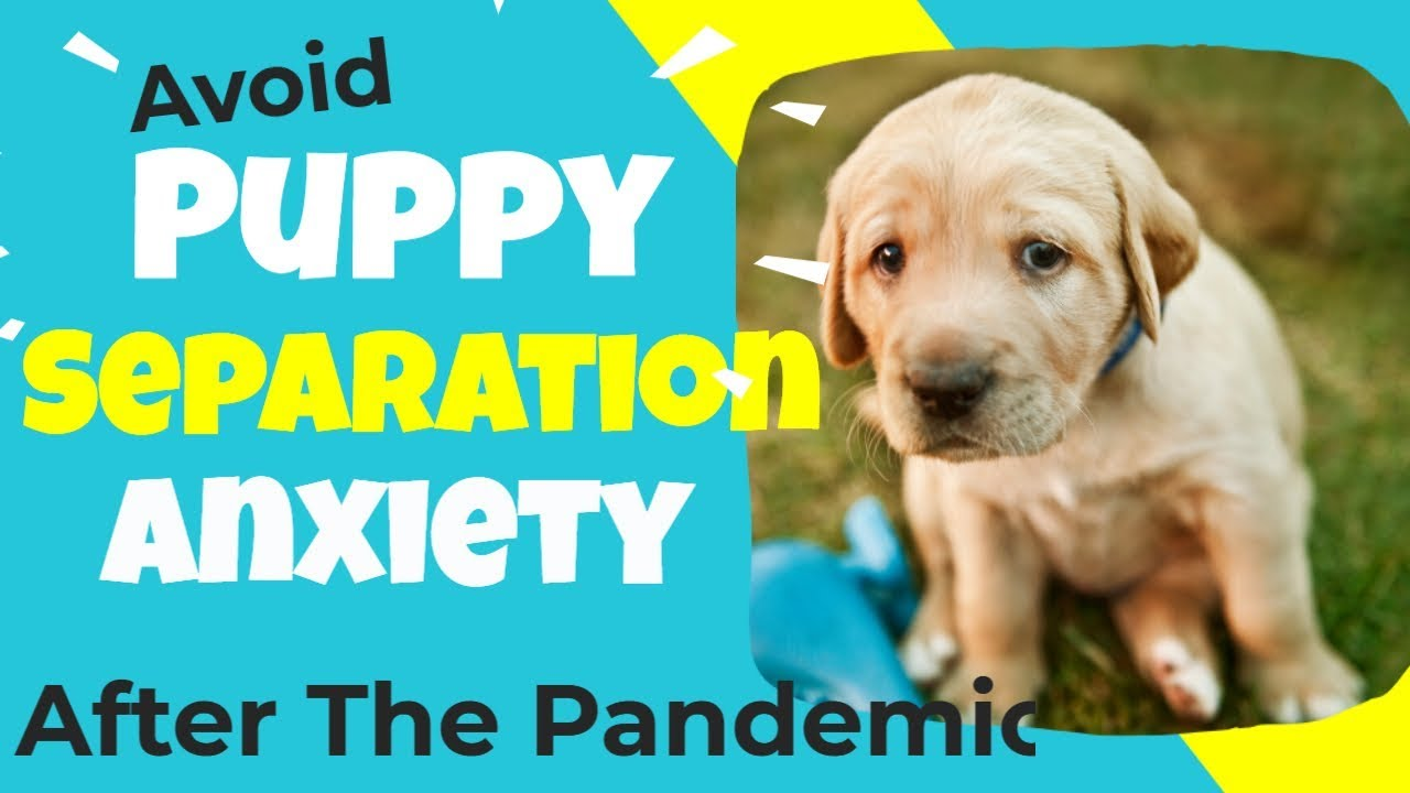 Puppy Separation Anxiety - Prepare For Your Return To Work After The Pandemic