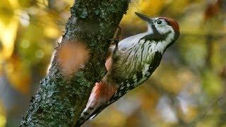 White-backed woodpecker in the winter. Дятел белоспинный зимой.