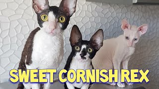 Sweet Cornish Rex Cat Compilation : КорнишPекс