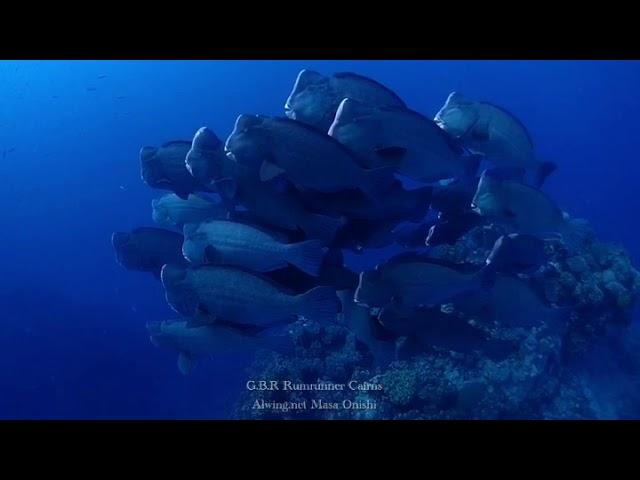 カンムリブダイの群れ School of Bumphead Parrotfish
