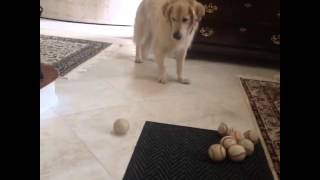 Golden Retriever Misses Ball That's Rolled To Him