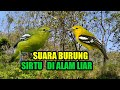 Suara Burung Sirtu Cipoh Di Alam Liar Terbaru   Mp3 - Mp4 Download