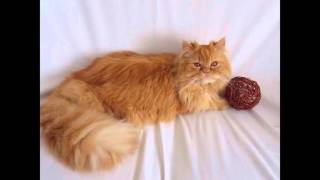 The best Persian cats   Teo present