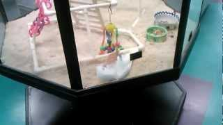 Goffins Cockatoo Having A Blast Xd