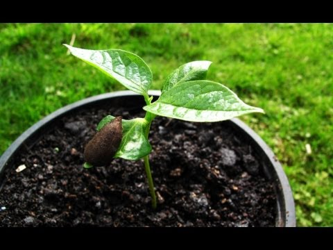 How to grow Persimmons from seed