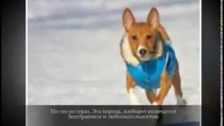 Средние породы собак  БАСЕНДЖИ