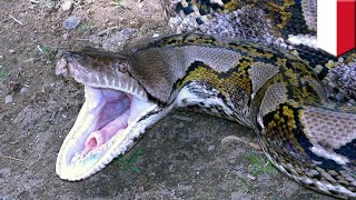 Giant python takes down Indonesian woman - TomoNews