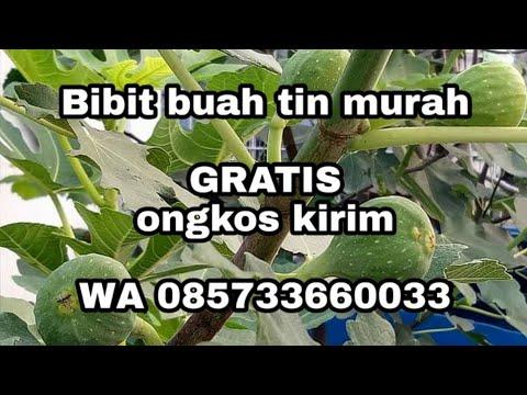bibit-buah-tin-murah-wa-085733660033-bandung-jabar-gratis-ongkos-kirim