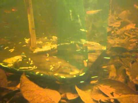 cardinal tetra paracheirodon axelrodi fishery in rio