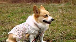 Konatsu (pembroke Welsh Corgi) an Itch In My Ear お耳がかゆいの (2011/11/18)