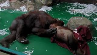 У орангутанов Мишель и Бату любовные игры 19.12.18