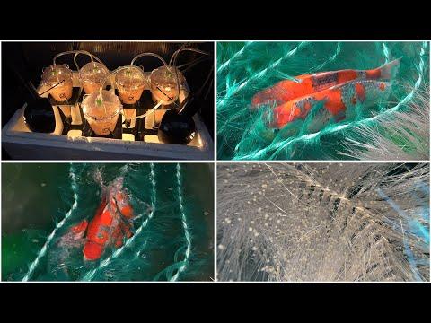 My Koi Breeding Project - Part 35 - Goshiki spawning first night success