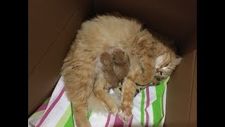 Рыжая кошка Пышка