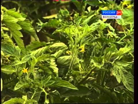 Вирусные болезни растений. Внекорневые подкормки.
