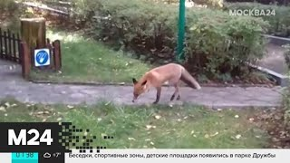 Москвичи заметили лису на Таймырской улице - Москва 24