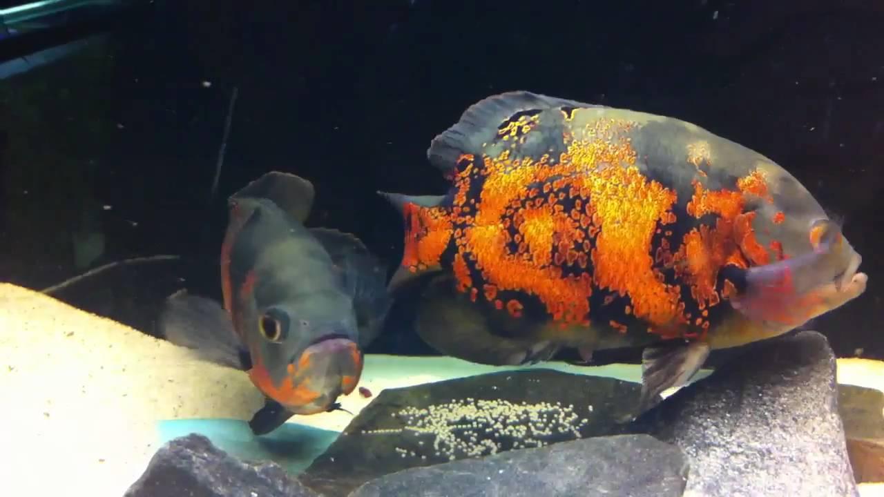 Oscar fish breeding laying eggs 3 feb 2011 youtube for Oscar fish food