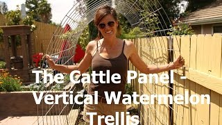 How To Build A Cattle Panel-vertical Watermelon Trellis
