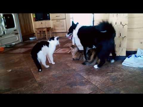 Kedi çiftleşmesine ortak olan köpek.