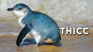 Fairy Penguins are Thicc
