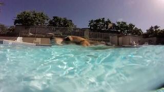 Corgi Swimming In Pool